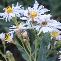 Image of Aster glaucodes