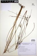 Image of Andropogon lateralis