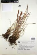 Image of Andropogon virgatus