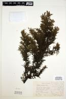 Image of Juniperus monticola