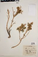 Image of Baccharis boliviensis