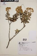 Image of Baccharis curitybensis
