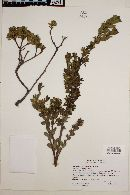 Image of Baccharis patagonica