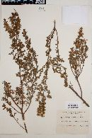 Image of Baccharis flabellata