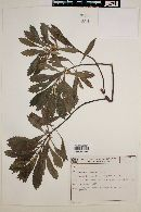 Image of Baccharis schultzii