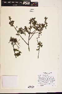 Image of Philadelphus occidentalis