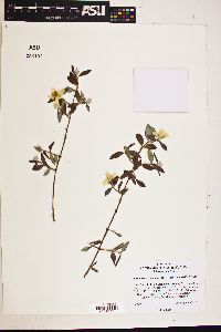 Image of Philadelphus wootonii