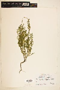Image of Scutellaria microphylla