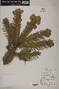 Image of Cunninghamia konishii