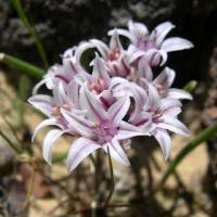 Image of Allium macropetalum