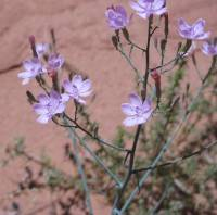 Image of Stephanomeria pauciflora