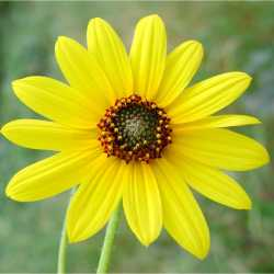 Image of Helianthus petiolaris