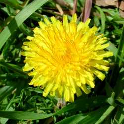 Image of Taraxacum officinale