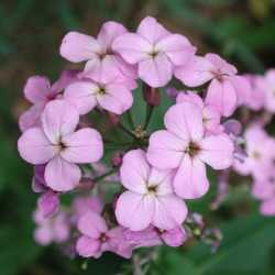 Image of Hesperis matronalis