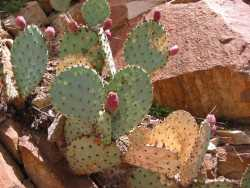 Image of Opuntia macrocentra
