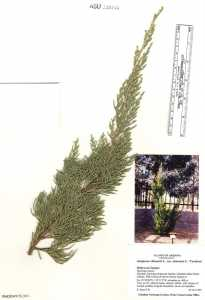 Image of Juniperus chinensis