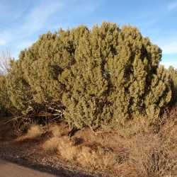 Image of Juniperus osteosperma