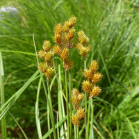Image of Carex bebbii