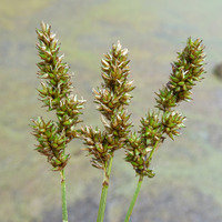 Image of Carex diandra