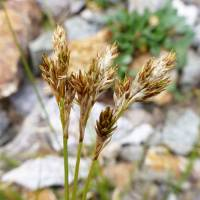 Image of Carex phaeocephala