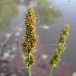 Image of Carex vulpinoidea