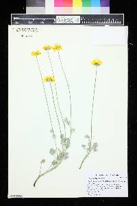 Image of Anthemis marschalliana