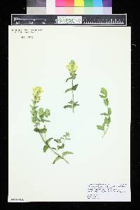Image of Scutellaria amphichlora