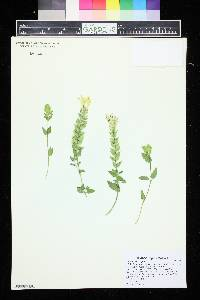Image of Scutellaria supina