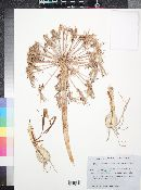 Image of Nerine laticoma