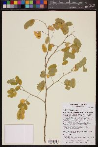 Image of Caesalpinia platyloba
