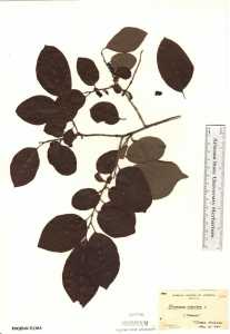 Image of Diospyros virginiana