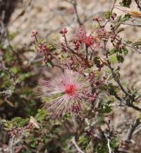 Image of Calliandra eriophylla