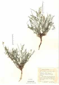 Image of Astragalus straturensis