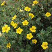 Image of Potentilla fruticosa