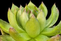 Image of Echeveria agavoides