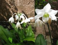 Image of Eucharis grandiflora