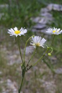 Image of Erigeron strigosus