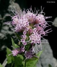 Image of Ageratina occidentalis