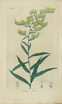 Image of Solidago odora