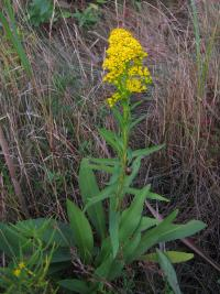 Image of Solidago sempervirens
