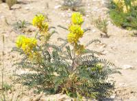 Image of Astragalus alopecuroides