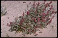 Image of Astragalus mohavensis