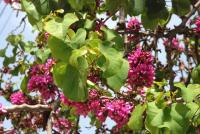Image of Cercis siliquastrum