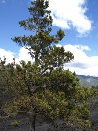 Image of Austrocedrus chilensis