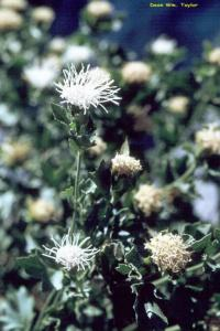 Image of Ageratina shastensis