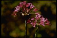 Image of Allium crispum