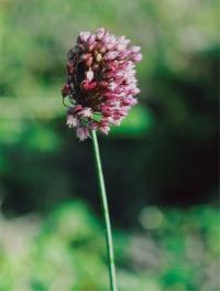 Image of Allium rotundum