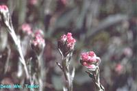 Image of Antennaria oxyphylla