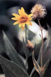 Image of Arnica amplexifolia