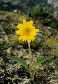 Image of Arnica angustifolia